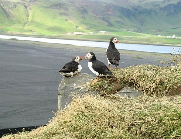 Puffin Fowl Iceland Bird