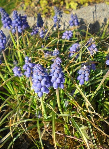 Garteblume Blue Azure Muscari Flower Plant Flower