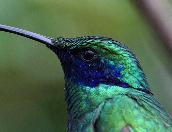 Hummingbird Blue Azure Trochilidae Green Lime Faun