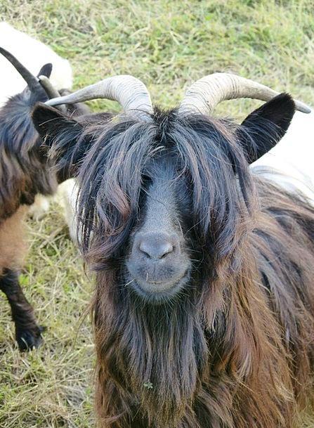 Goat Creature Paarhufer Mammal Hair Mane Eyes Past