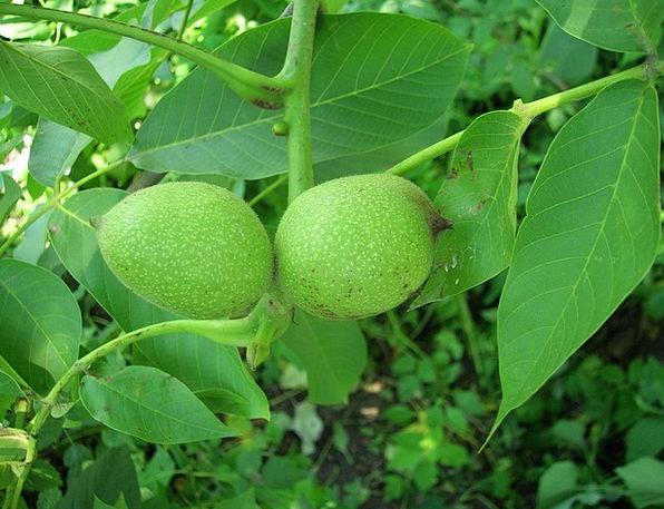 Walnut Mad Greek Nuts