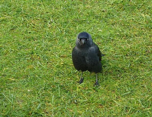 Jackdaw Landscapes Nature Black Dark Wild Bird Nat