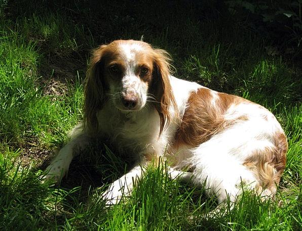 Dog Canine Breton Spaniel Breton Rush Brown White