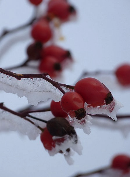Rose Hip Landscapes Chilled Nature Plant Vegetable
