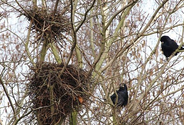 Bird Nests Caw Nests Shells Crow Crow'S Nests Anim