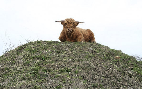 Bull Decree Cattle Cows Highland Cattle Scottish H