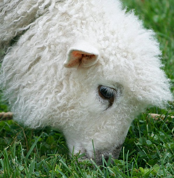 cotswold sheep beef wool angora lamb ewe farm farmhouse herd