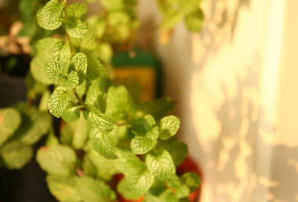 Mint Perfect Landscapes Vegetable Nature Green Pla
