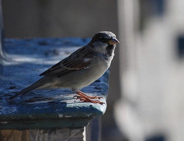 Bird Fowl Nature Countryside The Sparrow Pen Coop
