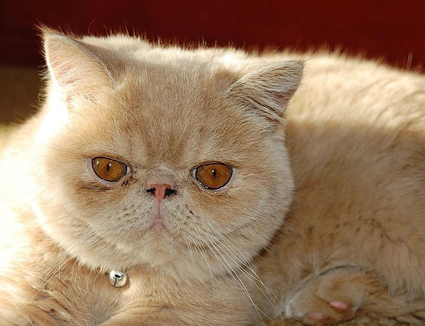 Cat Feline Exotic Unusual Persian Breed Type Pets
