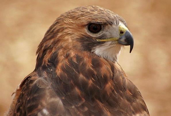 Hawk Warmonger Fowl Nature Countryside Bird Beak N