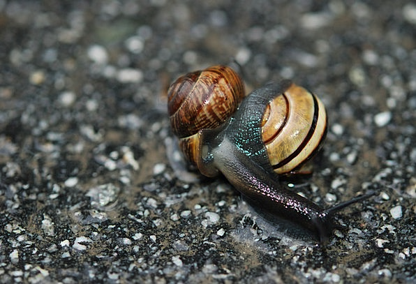 Snail Darling Mating Breeding Love Copulation Moll