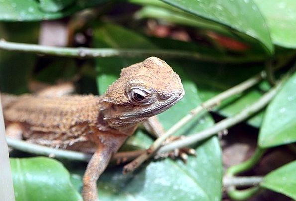 Lizard Reptile Terrarium Wildlife Nature Fauna Tro