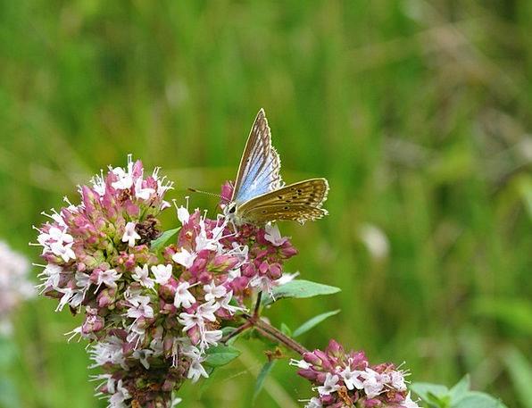Butterfly Landscapes Azure Nature Flower Floret Bl
