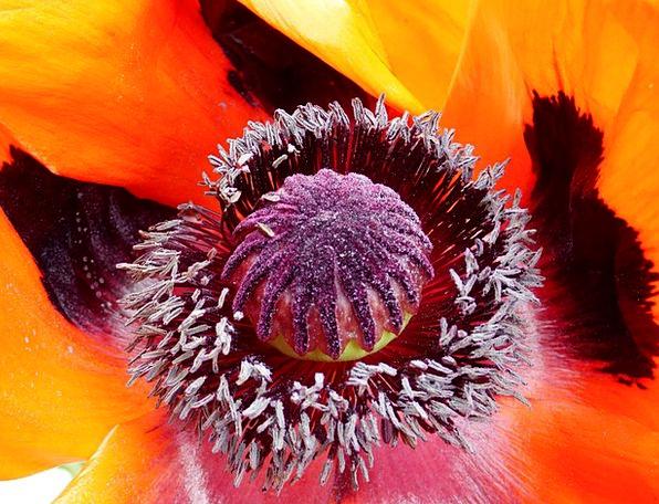 Poppy Heart Flower Floret Poppy
