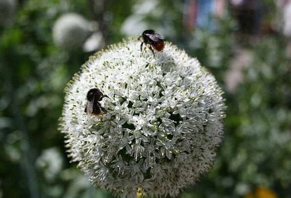 Bee Landscapes Nature Flower Floret Onion Buzz Pla