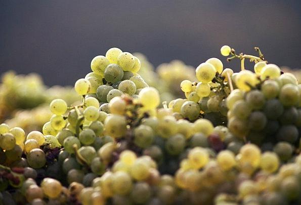 Grapes Landscapes Mauve Nature Harvest Crop Wine R