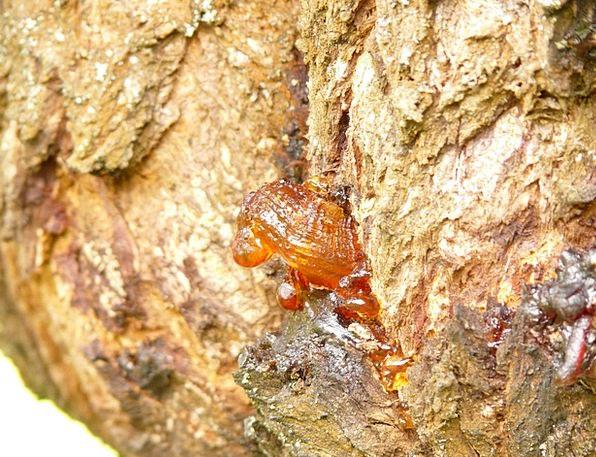 Resin Mastic Sapling Lebendharzung Tree Bitumen Ta