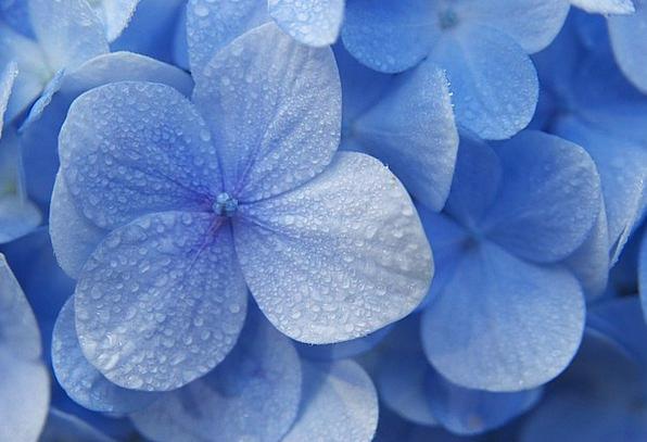 Hydrangeas Floret Blue Azure Flower Madagascar Blu