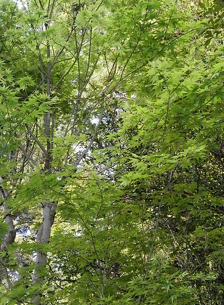 Maple Lime Fresh Green Green Maple Leaf Arboretum