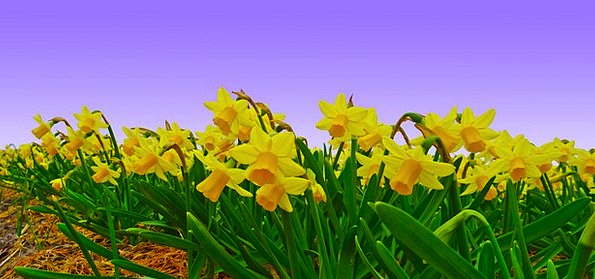 Narcissus Arena Daffodil Field Easter Plantation E