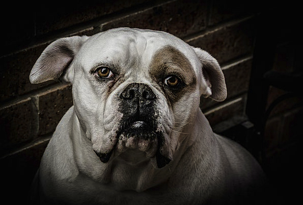 Dog Canine Physical Boxer Combatant Animal Dogs Ca