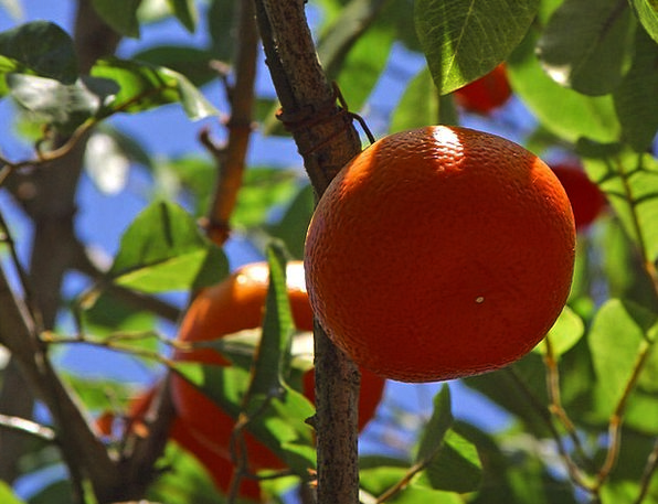Tangerines Drink Food Mandarin Bureaucrat Mandarin