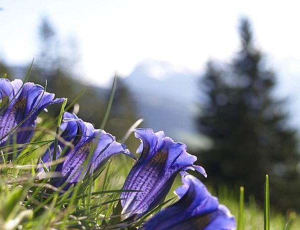 Gentian Landscapes Azure Nature Alpine Mountainous