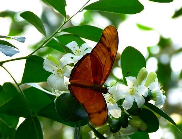Julia Butterfly Fly Hover Butterfly Edelfalter Win