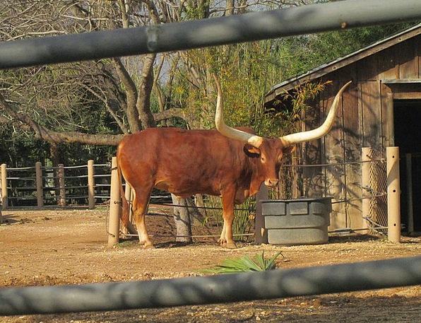 Longhorns Landscapes Nature Cattle African Animal