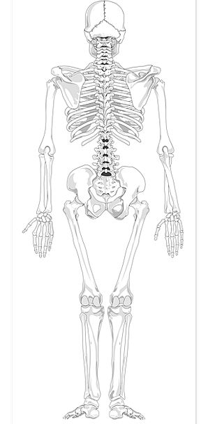 Skeleton Minimum Medical Humanoid Health Skeletal