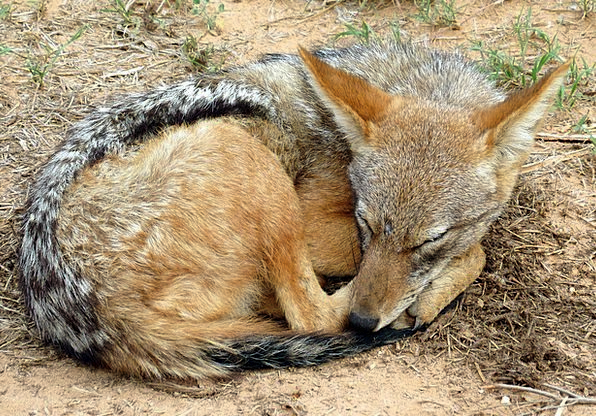 Jackal Mammal Creature South Africa Animal Physica