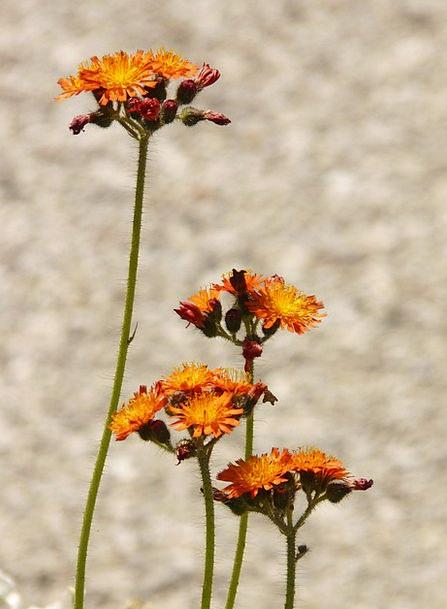 Red Orange Hawkweed Landscapes Nature Composites A