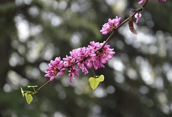 Chinese Redbuds Flowers Plants Judas Tree Purple E
