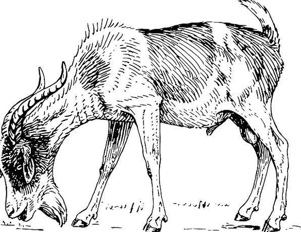 Goat Billy Goat Capricorn Kid Child Horns Beard Fr
