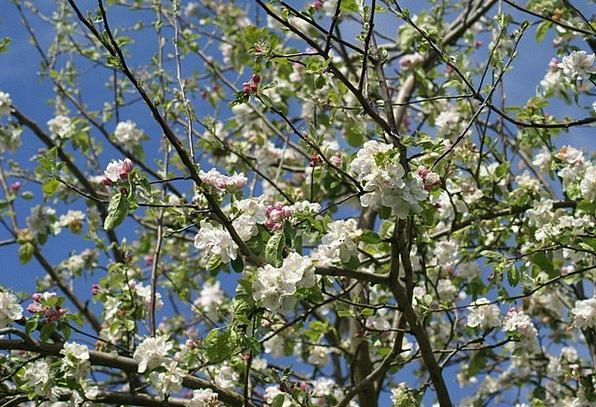 Spring Coil Tree Sapling Apfleblüten