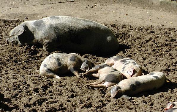 Bunte Bentheimer Pigs Spread Pigs Cattle Sow Pigle
