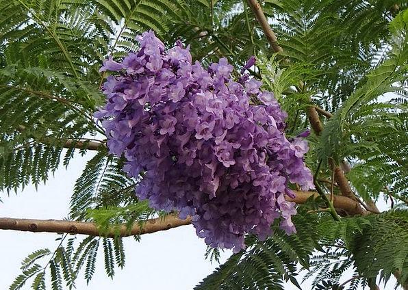 Image result for Blue Jacaranda