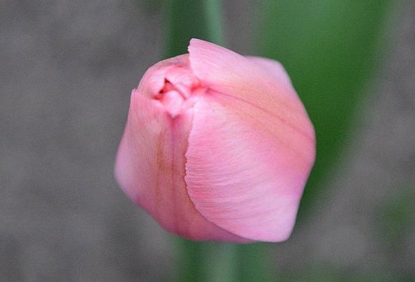 Tulip Flushed Flower Buds Pink