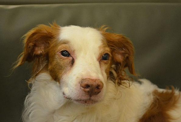 Dog Canine Domesticated Sad Unhappy Pet