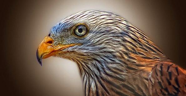 Red Kite Milan Bird Of Prey Feather Raptor Animal