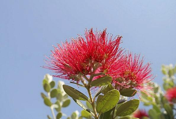 Flower Floret Bloodshot Flowers Plants Red Pohutuk
