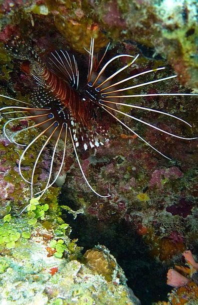 Lionfish Beautiful Lovely Pacific Rotfeuerfisch Ex