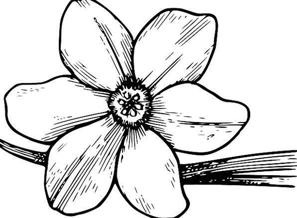 Flower Floret Dogwood Bloom Petals Free Vector Gra