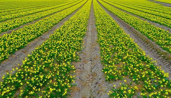 Daffodil Field Narcissus Daffodil Easter Field Are