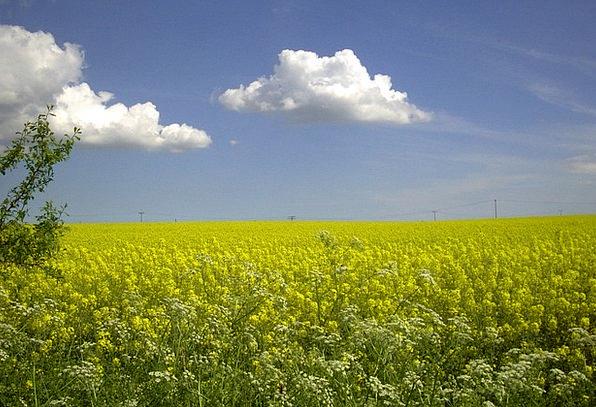 Field Of Rapeseeds Rape Blossom Oilseed Rape Rügen