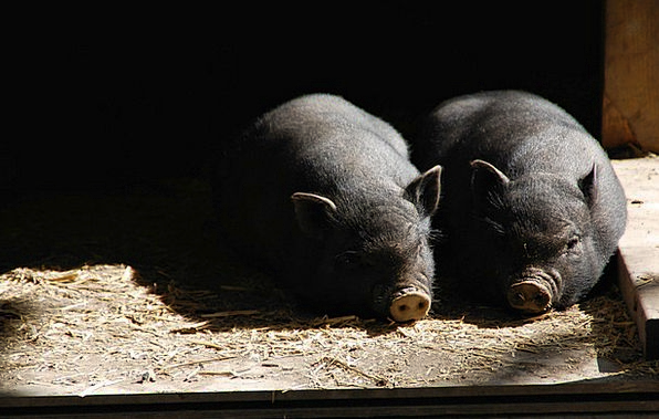 Pigs Cattle Piglet Piglets Hog Pig Glutton Livesto