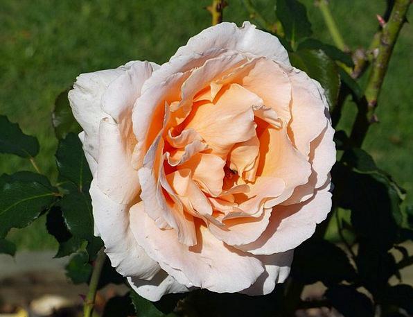 Rose Design Bloom Apricot Colour Flower Floret