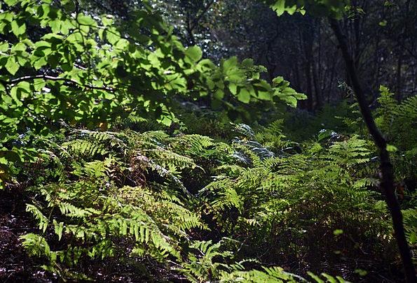 Ferns Leaves Landscapes Nature Autumn Light Woodla