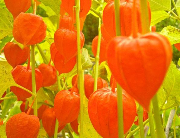 Judekörs Plants Physalis Flowers Physalis Alkekeng
